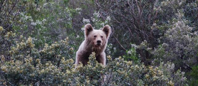 Cantábrico (Los dominios del oso pardo)2